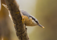 Nuthatch with seed close-up Stock Photos
