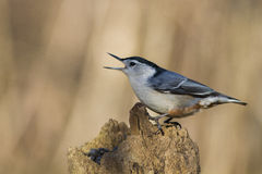Nuthatch with seeds in beak Royalty Free Stock Image