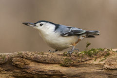 Nuthatch with seeds in beak Stock Photos