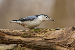 Nuthatch with seeds Stock Photos