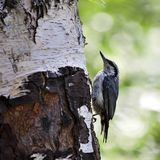 Nuthatch sits on a birch Royalty Free Stock Photo