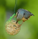 Nuthatch -  Sitta europaea Stock Images