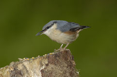Nuthatch - Sitta europaea Stock Photos