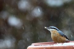 Nuthatch (Sitta europaea) Royalty Free Stock Photography