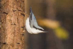 Nuthatch, Sitta europaea. The Nuthatch (Sitta europaea) is in city park royalty free stock photography