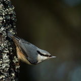 Nuthatch (Sitta europaea) Stock Images