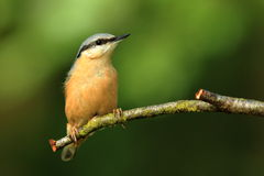 Nuthatch (Sitta europaea). A Nuthatch sitting on the branch of a tree stock photography