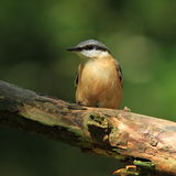 Nuthatch (Sitta europaea). A Nuthatch sitting on the branch of a tree stock photos