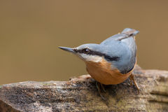 Nuthatch (Sitta europaea) Royalty Free Stock Photo