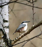 Nuthatch ( Sitta europaea ) Royalty Free Stock Photography
