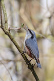 Nuthatch. Sitta europaea. Royalty Free Stock Photography