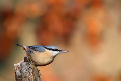 Nuthatch. Sitta europaea. Royalty Free Stock Image