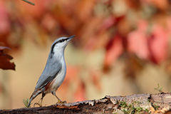 Nuthatch. Sitta europaea. Royalty Free Stock Images