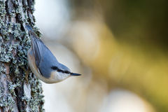 Nuthatch (Sitta europaea), in the classical position Royalty Free Stock Image