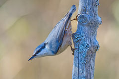 The Nuthatch Royalty Free Stock Image