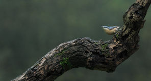 Nuthatch (Sitta europaea) Stock Photography