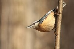 Nuthatch - Sitta europaea in the forest