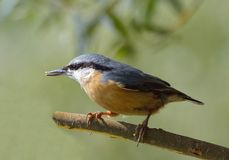 Nuthatch (Sitta europaea). In natural habitat stock image