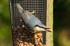 Nuthatch Sitta Europaea on peanut feeder stock photography