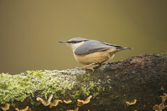Nuthatch (Sitta Europaea) perched on log Royalty Free Stock Photo