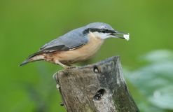 A Nuthatch Sitta europaea perched on an old tree stump. Stock Photography