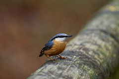 Nuthatch (Sitta Europaea). Nuthatch perched on wooden handrail.Taken in The Forest of Dean, Gloucestershire, England in February Stock Image