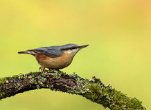 Nuthatch Sitta europaea perching Royalty Free Stock Images