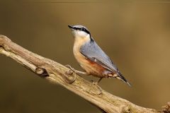 Nuthatch, Sitta europaea Stock Images