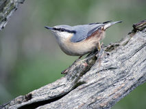 Nuthatch, Sitta europaea Royalty Free Stock Photography