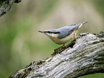 Nuthatch, Sitta europaea Stock Photo