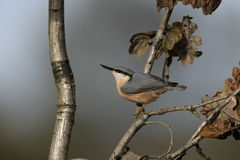 Nuthatch, Sitta europaea Royalty Free Stock Photos