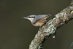 Nuthatch, Sitta europaea Stock Photos