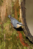 Nuthatch, Sitta europaea. Single bird on branch, Warwickshire, December 2014 stock photography