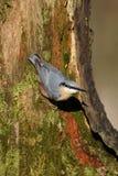 Nuthatch, Sitta europaea. Single bird on branch, Warwickshire, December 2014 Stock Photography