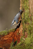 Nuthatch, Sitta europaea Royalty Free Stock Image