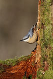 Nuthatch, Sitta europaea Stock Image