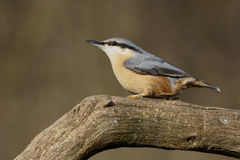 Nuthatch, Sitta europaea Royalty Free Stock Images