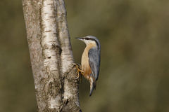 Nuthatch, Sitta europaea Royalty Free Stock Photo