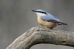 Nuthatch, Sitta europaea. Single bird on branch, Warwickshire, January 2015 royalty free stock photo