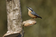 Nuthatch, Sitta europaea. Single bird on fungi, Warwickshire, January 2015 stock photo