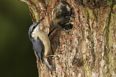 Nuthatch, Sitta europaea,. Single bird at nest hole, Midlands, May 2011 royalty free stock images