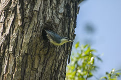 Nuthatch, Sitta europaea, single bird Stock Photo