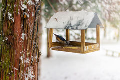 Nuthatch, Sitta europaea sits on feeder covered snow in winter forest. Stock Image