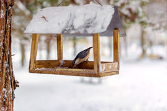 Nuthatch, Sitta europaea sits on feeder covered snow in winter forest. Royalty Free Stock Photos