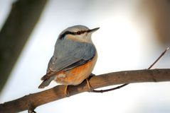 Nuthatch Sitta europaea (Sittidae) Royalty Free Stock Photos