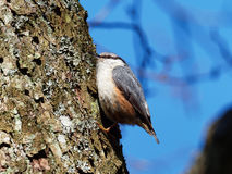 Nuthatch - Sitta Europaea Royalty Free Stock Images