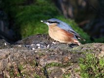 Nuthatch, sitta europaea, tree trunk, food in bill. Single adult Nuthatch, sitta europaea, on a fallen tree trunk with a seed in it`s bill and sun on it`s blue royalty free stock photos
