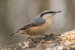 Nuthatch, Sitta-europaea, wilde vogel in natuurlijke habitat Stock Foto