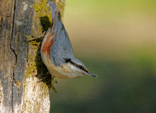 Nuthatch (Sitta europea) Stock Photography