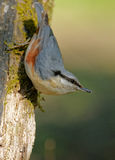 Nuthatch (Sitta europea) vertical Royalty Free Stock Photos